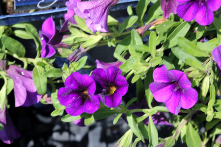Calibrachoa  Minifamous Royal Blue, Mini petunia, early flowering compact interspecific hybrid cultivar with trailing habit and blue purple flowers with pale yellow throat and anthers.