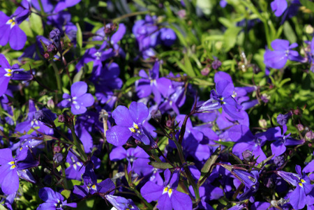 Lobelia erinus Blue Moon, herbaceous annual with trailing habit and violet blue flowers, suitable for hanging baskets.