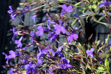 Lobelia erinus Crystal Palace, herbaceous annual with trailing habit and deep blue flowers, suitable for hanging baskets.