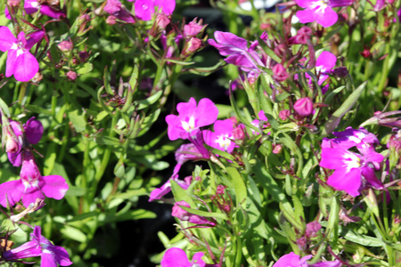 Lobelia erinus Rose, herbaceous annual with trailing habit and rose colored flowers, suitable for hanging baskets. Stock Photo