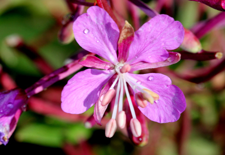 Chamaenerion angustifolium, Fireweed, Rosebay willowherb, formerly Epilobium angustifolium, tall herbaceous perennial with reddish stem, linear alternate leaves and rosy flowers in terminal raceme.