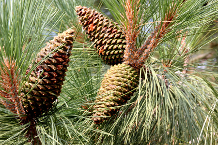 Pinus ponderosa, Ponderosa pine, Bull pine, Blackjack pine, tall evergreen tree with needles in clusters of three and up to 15 cm long reddish brown conical female cones, opening up when mature. Stock Photo