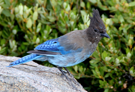 barring: Cyanocitta stelleri,  Stellers jay, Long-crested jay, Mountain jay, Pine jay, crested bird, Tahoe Lake area, with black head and upper body, primaries and tail rich blue with darker barring.