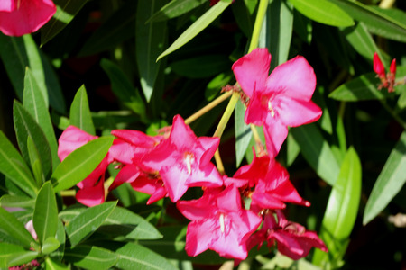Nerium oleander, Oleander, Evergreen shrub to tree with linear-lanceolate thick leaves in whorls and white to to pink fragrant flowers in cymose clusters, popular along roadsides, toxic to animals.