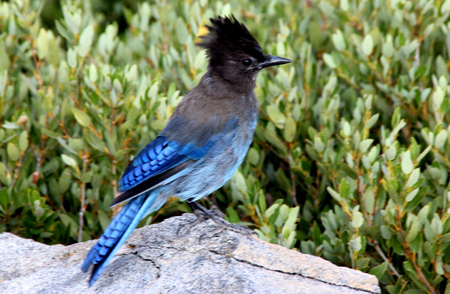 Cyanocitta stelleri,  Stellers jay, Long-crested jay, Mountain jay, Pine jay, crested bird, Tahoe Lake area, with black head and upper body, primaries and tail rich blue with darker barring.