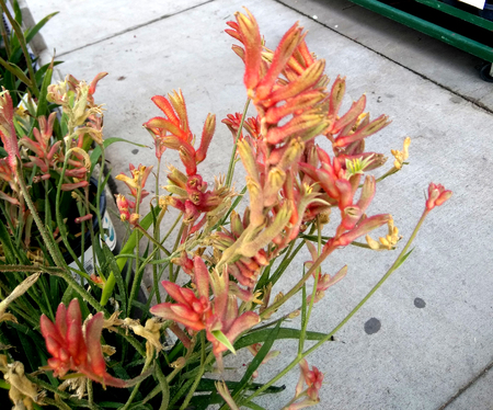 Anigozanthos flavidus, Kangaroo Paw, evergreen clump forming perennial with strap shaped leaves and orange red to pink velvety flowers clustered at tips of long stalks.
