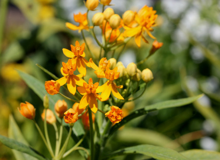 Asclepias curassavica Silky Gold, Golden Butterflyweed, evergreen perennial with linear-lanceolate yellow green leaves and golden yellow flowers in terminal racemes, attract Monarch caterpillars