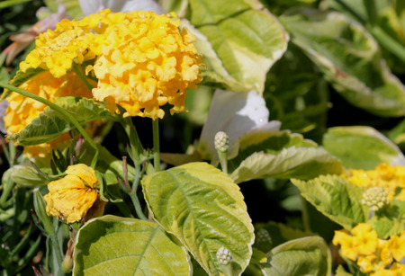Lantana camara Samantha, spreading mound forming shrub with green and yellow variegated leaves and bright yellow large clusters of flowers attracting butterflies, suitable for beds and containers.