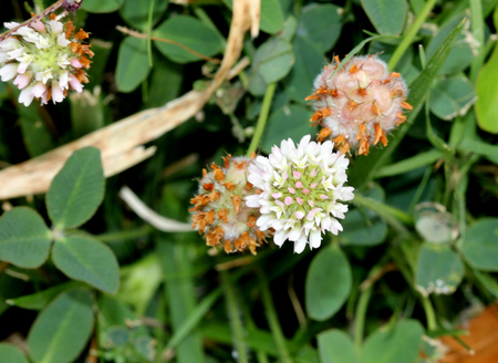 Trifolium fragiferum strawberry clover trailing perennial stock photo trifolium fragiferum strawberry clover trailing perennial herbaceous plant with trifoliate leaves with serrate leaflets and white flowers in mightylinksfo