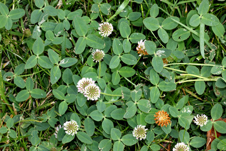 Trifolium fragiferum, strawberry clover, trailing perennial herbaceous plant with trifoliate leaves with serrate leaflets and white flowers in heads, calyx increased and fuzzy in globose fruit.
