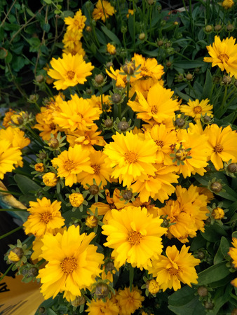 Coreopsis grandiflora Presto, Dwarf Tickseed, compact mound of dark green leaves and semidouble golden yellow flowerheads, good for containers and rock gardens, flowering profusely. Stock Photo