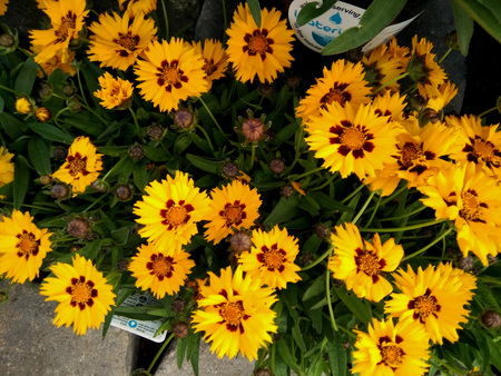 Coreopsis grandiflora Sunfire, compact bushy mound of leathery green leaves and golden yellow flowerheads with burgundy eye, good for containers and borders, long lasting blooms,