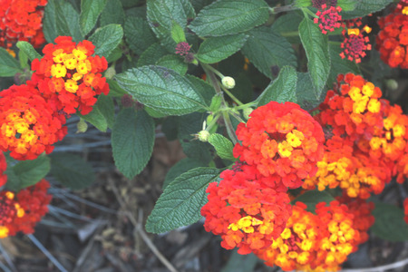 Lantana camara Dallas Red, spreading bush with opposite green leaves and globose terminal clusters of of flowers turning from yellow to orange to finally red, long blooming popular ornamental. Stok Fotoğraf