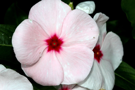 Catharanthus roseus White, Madagascar periwinkle, Vinca rosea, evergreen perennial with woody base, thick opposite leaves and tubular flowers with spreading lobes, white turning pink with age, with red center.