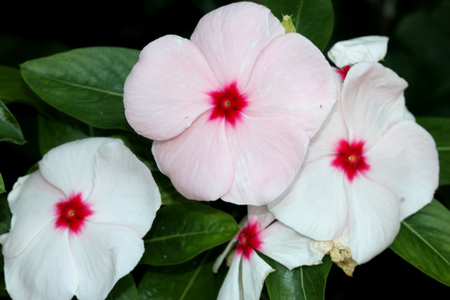 Catharanthus roseus White, Madagascar periwinkle, Vinca rosea, evergreen perennial with a woody base, thick opposite leaves and tubular flowers with spreading lobes, white turning pink with age, with the red centre. Stock Photo