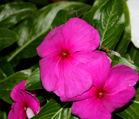 Catharanthus roseus Magenta, Madagascar periwinkle, Vinca rosea, evergreen perennial with a woody base, thick opposite leaves and tubular flowers with spreading lobes, magenta with the red center.