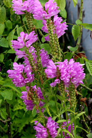 Physostegia virginiana, Obedient Plant, ornamental perennial native of North America with toothed light green leaves and tubular two lipped pink or lilac flowers.