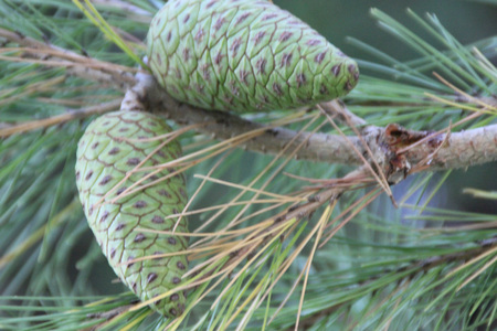Pinus halepensis, Aleppo pine, evergreen tree with up to 12 cm long needle leaves in clusters of 2, conical female cone up to 12 cm long, initially green turning reddish brown when old.