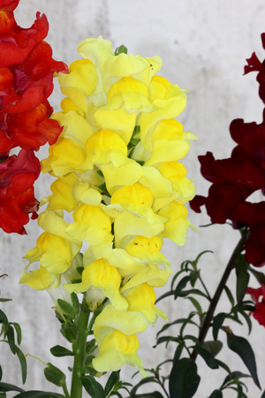 Antirrhinum majus, Snapdragon, Dog flower, popular  short lived perennial herb with lanceolate leaves and two lipped flowers in terminal spikes in variety of colours.