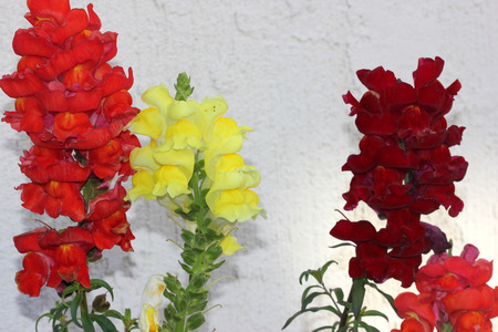 snapdragon: Antirrhinum majus, Snapdragon, Dog flower, popular  short lived perennial herb with lanceolate leaves and two lipped flowers in terminal spikes in variety of colours.