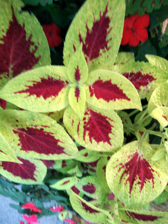 Plectranthus scutellarioides Wizard Scarlet, cultivar with compact well branched plants with scarlet red leaves with broad pale yellowish green edges, ideal for mixed plantations.