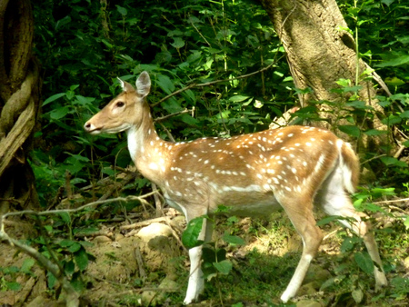 Spotted deer, Axis deer, Cheetal, Axis Axis, native of India, female lacking antlers found only in males, body golden to rufous, with white spots, abdomen, insides of legs, ears and tail all white.