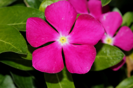 Catharanthus roseus, Madagascar periwinkle, Vinca rosea, evergreen perennial with woody base, thick opposite leaves and tubular flowers with spreading lobes, magenta with red center.