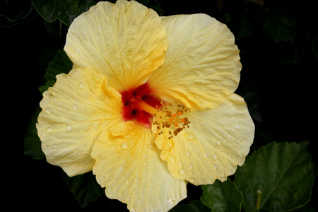 Hibiscus rosa-sinensis Hula Girl, China rose,  evergreen shrub or small tree, cultivar with green leaves and large rich yellow flowers with red throat with long exerted staminal column.