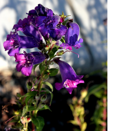 Penstemon purple, popular garden ornamental with tubular-funnel shaped flowers in terminal clusters, excellent for borders. Banco de Imagens