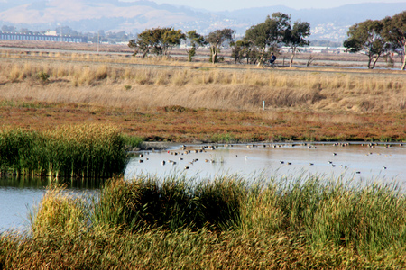frequented: Marshy salt ponds in Coyote Hills Regional Park, Fremont, California, frequented by Snowy egret, ducks and other water birds, supporting rushes, cattails and other aquatic vegetation.