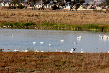 Marshy salt ponds in Coyote Hills Regional Park, Fremont, California, frequented by Snowy egret, ducks and other water birds, supporting rushes, cattails and other aquatic vegetation.