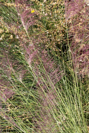 Hairawn muhly, Muhlenbergia capillaris, perennial tufted ornamental grass with narrow long leaves and small red to pink flowers with awns on elongate panicle with filiform spreading branches.