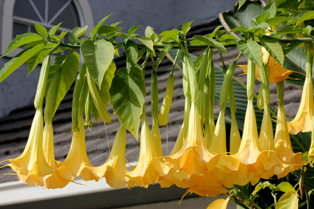 Brugmansia suaveolens, Angel`s Trumpet, shrub or tree with oval up to 25 cm long leaves and fragrant drooping trumpet shaped flowers up to 30 cm long, yellow, pink or white in color. Stock Photo
