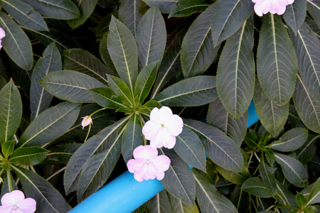 Poor Man's Rhododendron, Impatiens sodenii, bushy perennial with  widely lance shaped leaves and showy up to 5 cm wide white to pink flowers with long slender spur.