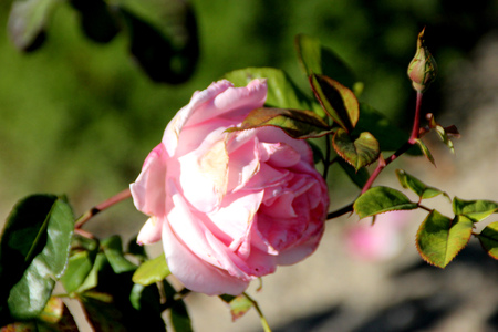 Rosa Princess Elizabeth, a Grandiflora rose, hardy shrub with large pink moderately fragrant double flowers in clusters, Standard-Bild