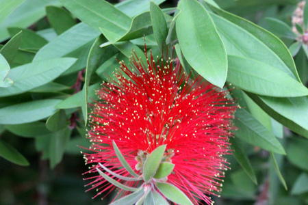 Gold-tipped bottlebrush, Callistemon polandii, shrub or small tree with elliptic leaves with pointed tips, red flowers with yellow anthers in proliferating spikes.