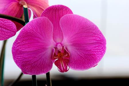 Phalaenopsis cultivar with large pink flowers with darker veins and red lip bordered with white margin, paler at base.