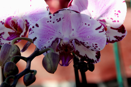 Phalaenopsis cultivar with white medium sized flowers, tinged pink and dark purple patches especially along margin, lip purple with whiskers. Stock Photo