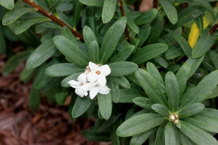 Burkwood daphne, Daphne burkwoodii, semievergreen shrub with  lance shaped leaves and tubular 4-lobed white  to pale pink fragrant flowers Stock Photo