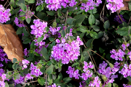 Lantana montevidensis,  Trailing lantana, Purple lantana, trailing shrub with opposite oval leaves and purple blue flowers in small flat topped clusters, with large ovate bracts, Stock Photo