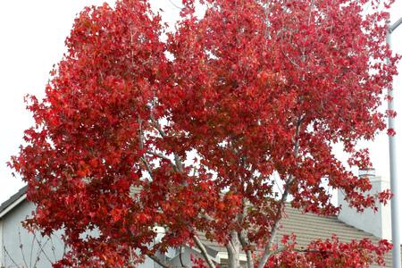 Autumn colors of American sweetgum, Liquidambar styraciflua, the star shaped leaves of avenue tree turning brilliant orange red in autumn, providing elegant view of avenues Stok Fotoğraf