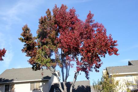 Autumn colors of American sweetgum, Liquidambar styraciflua, the star shaped leaves of avenue tree turning brilliant orange red in autumn, providing elegant view of avenues Stock Photo