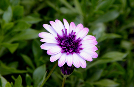 Osteospermum 4D Berry White, low compact hybrid cultivar with medium sized white flower heads with purple disc of long tubular florets Stock Photo