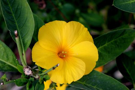 Reinwardtia indica yellow flax pyoli himalayan native in reinwardtia indica yellow flax pyoli himalayan native in cultivation small shrub with mightylinksfo