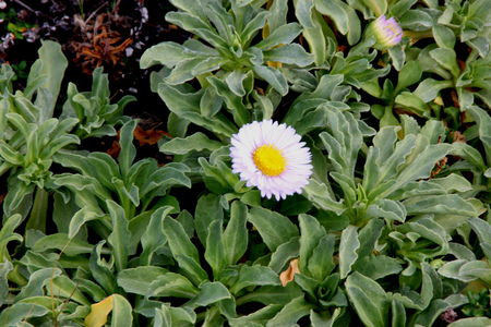 Seaside fleabane, Beach aster, Seaside daisy, Erigeron glaucus, coastal perennial plant California with sparsely toothed spoon shaped leaves and purple to white daisy like heads with yellow disc. Stock Photo