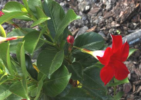 ブラジルのジャスミンレッド、マンデヴィラサンデリ、また、ディプラデニアサンデリと呼ばれ、狭い楕円形の葉と白いベースで漏斗形の赤い葉を