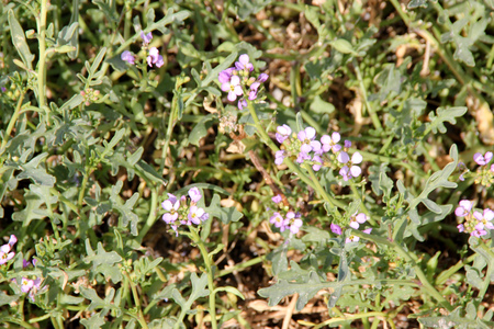 European searocket, Cakile maritima, mound forming annual herb with somewhat fleshy lobed leaves, white to light purple flowers and segmented corky fruits.