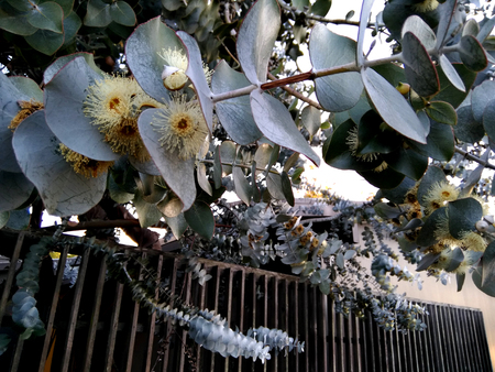 Silver-leaf stringybark, Silver dollar tree, Eucalyptus cinerea, medium-sized tree with rough bark, coin shaped silvery leaves and large white flowers Reklamní fotografie - 97247433