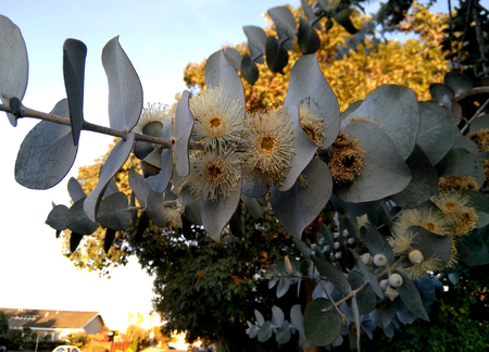 Silver-leaf stringybark, Silver dollar tree, Eucalyptus cinerea, medium-sized tree with rough bark, coin shaped silvery leaves and large white flowers Reklamní fotografie - 97841247