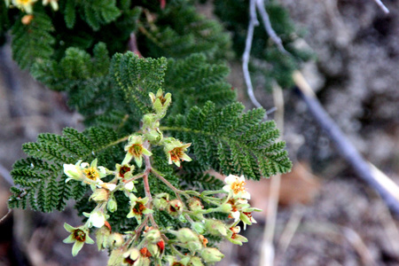 Mountain misery, Bearclover, Chamaebatia foliolosa, aromatic evergreen shrub with 3-pinnate frond-like leaves are rose like white flowers, endemic to California.